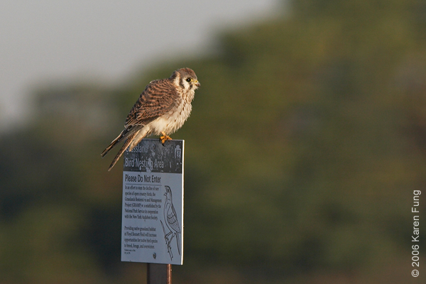American Kestrel (female) at Floyd Bennett Field, Brooklyn