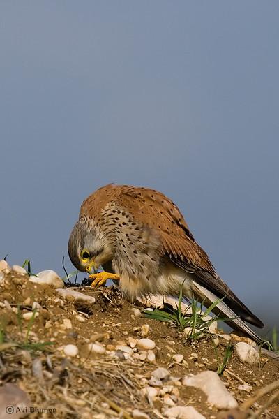 Kestrel - male בז מצוי - זכר