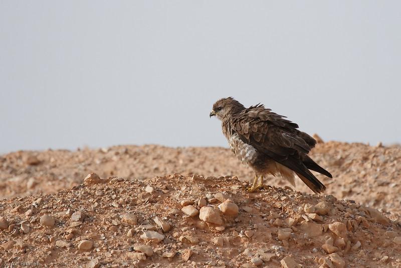 common(step) buzzard - dark morph<br /> עקב חורף מזרחי מופע כהה