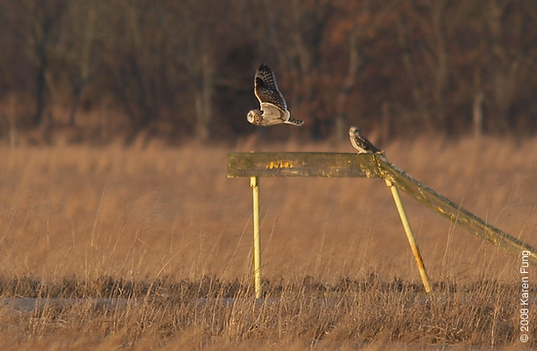 "March 1st: Short-eared Owls at the former Grumman airport property (now known as EPCAL) in Calverton, NY.  To join the efforts to save these grasslands from development, click <b><a href=""http://www.libirding.com/Calverton.html""> here </a></b>."