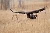 Golden eagle flight