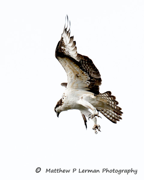 Osprey looking for a fish