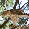 Cooper's hawk with dove meal