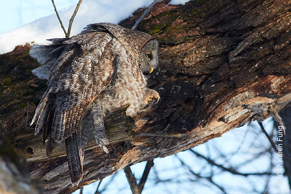 18 Feb: Great Gray Owl