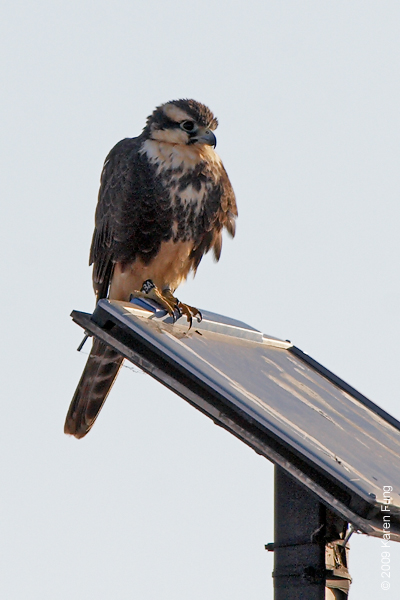 "15 Nov, 7:41am: Aplomado Falcon perched on solar panel at Bosque del Apache (NM).  Viewed from the Marsh Trail.  Leg band says ""8A"".  Since 2006 the Peregrine Fund has reintroduced over 120 Aplomados into NM.  Local release sites have included Ted Turner's Armendaris Ranch and the White Sands Missile Range.  For more about this falcon, go to <a href=""http://www.friendsofthebosque.org/BosqueWatch04.2010v2.pdf"">http://www.friendsofthebosque.org/BosqueWatch04.2010v2.pdf</a>"
