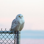 Snowy Owl (Juve) 2014 - At Richard W. DeKorte Park, Meadowlands, NJ