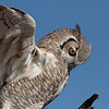 Great horned owl looking at prey