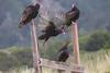Vultures5012