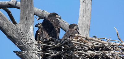 Nesting bald eaglets in Utah. Photo by Phil Douglass.