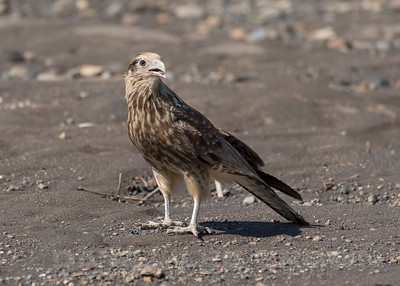 YELLOW-HEADED CARACARA, juvenile
