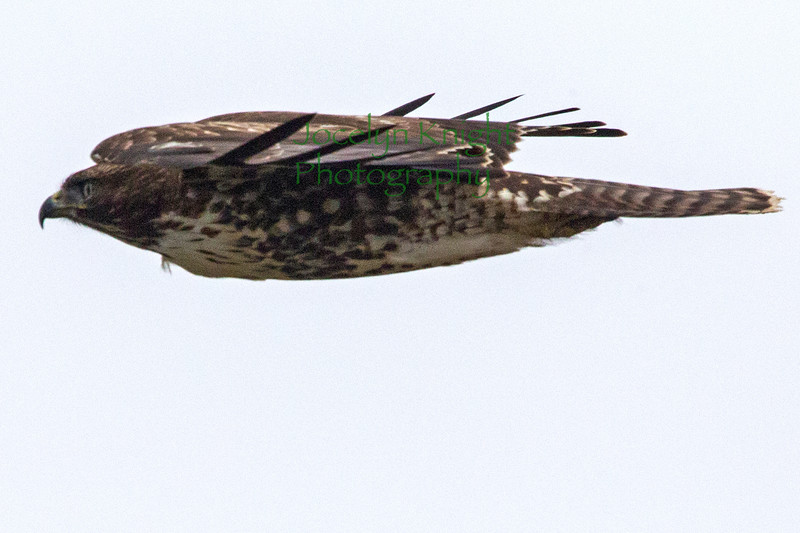 Red Tailed Hawk Juv 7373