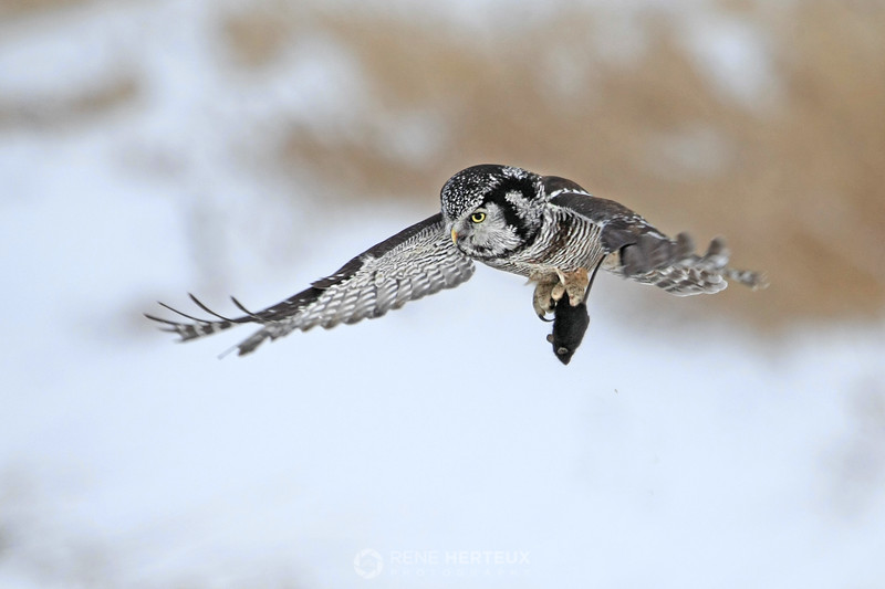 Northern hawk owl with mouse