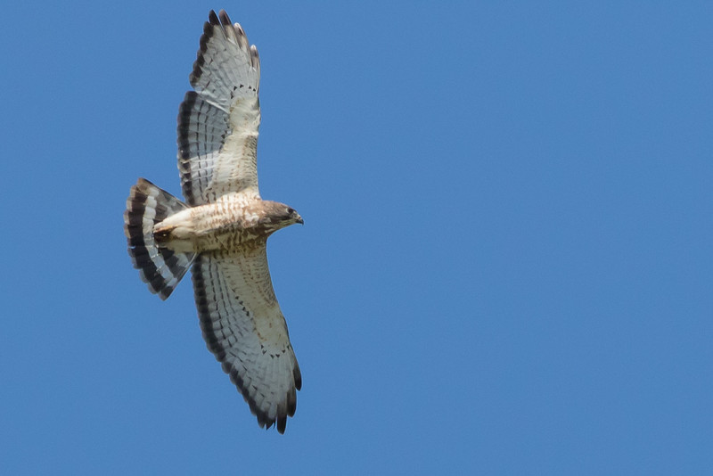 Broad-winged Hawk, Prince Edward County, Ontario