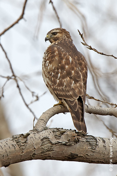 30 Nov: Red-shouldered Hawk