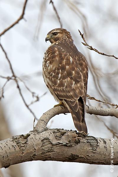 30 Nov: Red-shouldered Hawk