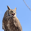 Calling Great horned owl