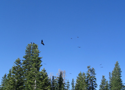 Flying California condors near Kolob Reservoir, Utah.  Photo taken 6-21-08 by Dean Mitchell, Utah Division of Wildlife Resources.