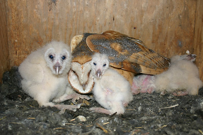 Barn owls in nest box.  Photo by Scott Root, Utah Division of Wildlife Resources.