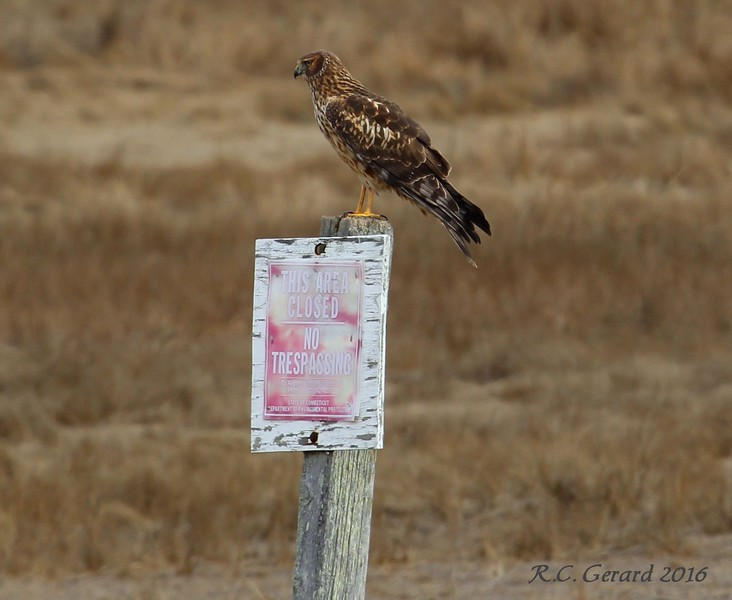 Northern Harrier at Exit Road