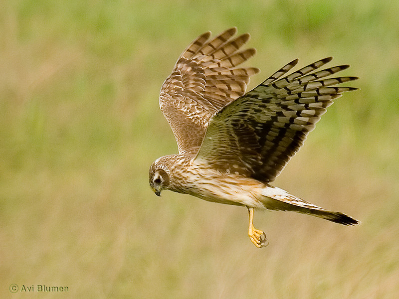 Hen harrier - female זרון תכול - נקבה