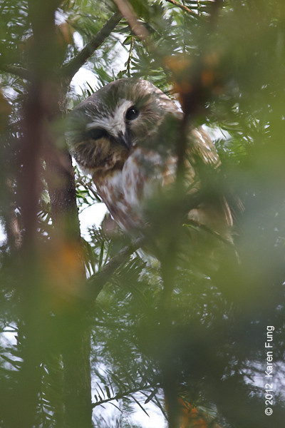 19 November: Northern Saw-whet Owl in Central Park