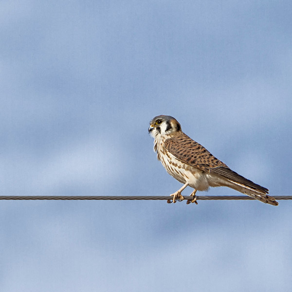 Kestrel on a wire