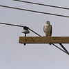 Prairie falcon on power pole