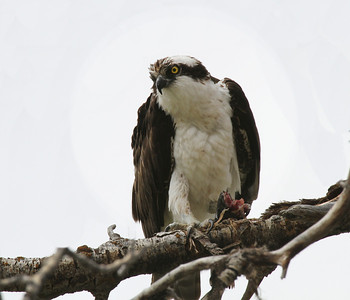 A Utah osprey enjoying a meal. Photo by Scott Root, Utah Division of Wildlife Resources.