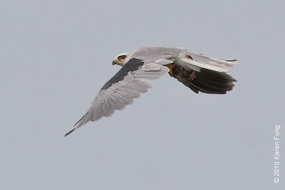 21 August: White-tailed Kite with prey in talons.  After hunting for 30 minutes, the kite captured what appeared to be a rat.  It brought its prey to a juniper tree and ate part of it, then departed towards Milford Point.