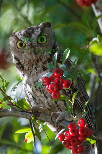 Western Screech Owl 5728