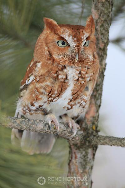 Screech owl, red morph