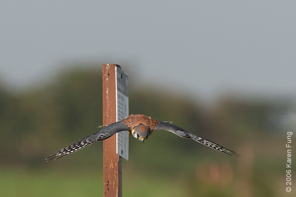 An American Kestrel goes hunting at Floyd Bennett Field, Brooklyn