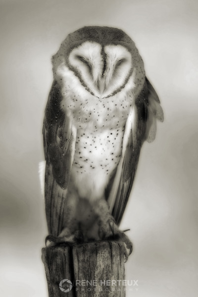 Sleepy barn owl in black and white