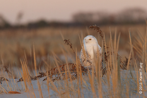 28 Dec: Snowy Owl at sunset