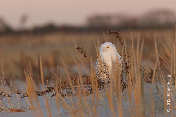 28 Dec: Snowy Owl at sunset