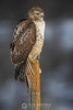 Red tailed hawk on fence post