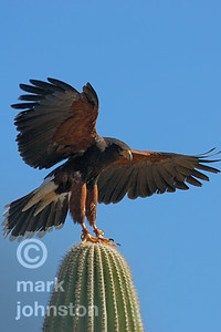 Harris Hawk alights on Saguaro cactus