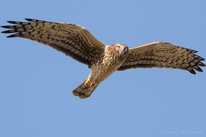"""Northern Harrier """"square off"""""""