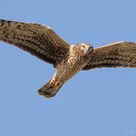 "Northern Harrier ""square off"""