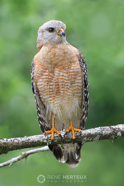 Red shouldered hawk posing