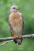 Red shouldered hawk posing