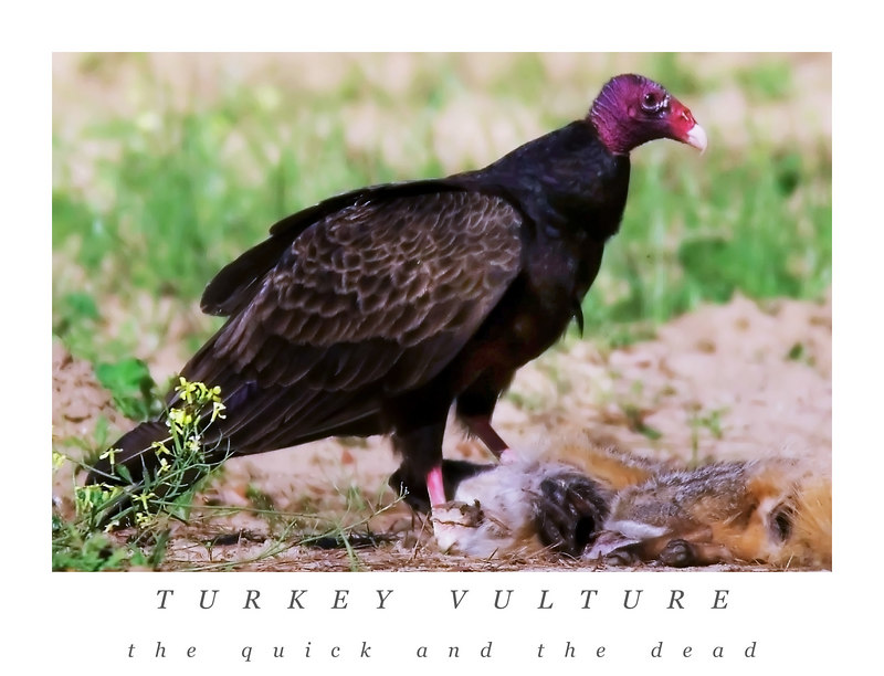 The Quick And The Dead<br /> turkey vulture<br /> 4/24/2006