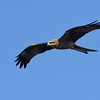 Black Kite or Fork-tailed Kite (Milvus migrans)