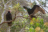 Vultures9203