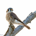 Kestrel - At Richard W. DeKorte Park, Meadowlands, NJ