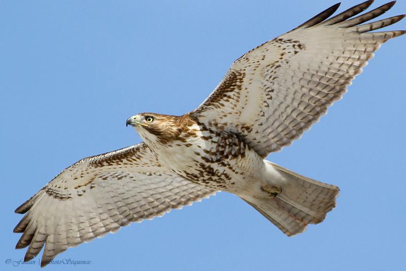 Red-Tailed Hawk - At Richard W. DeKorte Park, Meadowlands, NJ