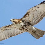 Red-Tailed Hawk - At Richard W. DeKorte Park, Meadowlands, NJ