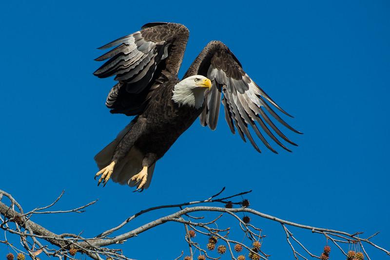 Bald Eagle Launch #1