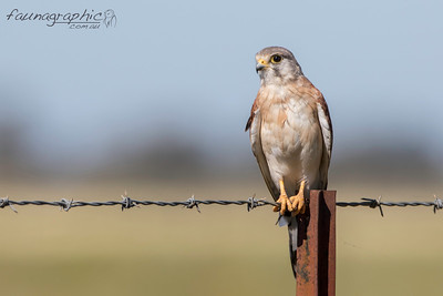 Nankeen Kestrel (Male)