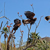 Composite of Harris's hawk take off